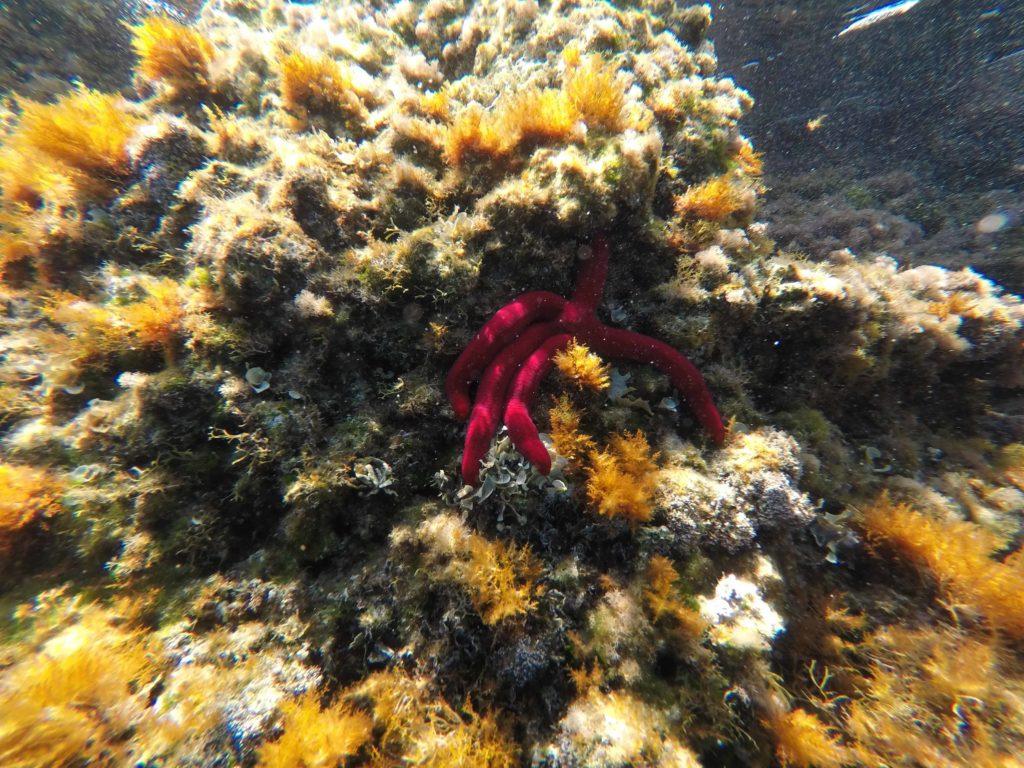 Beautiful starfish seen while snorkeling in Uvala Pertusa on Otok Sipan, Croatia